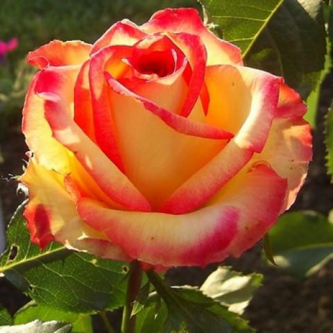 Роза Амбианс (Ambiance) (контейнер 3 л)