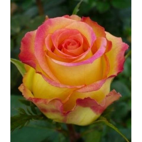 Роза Амбианс (Ambiance)