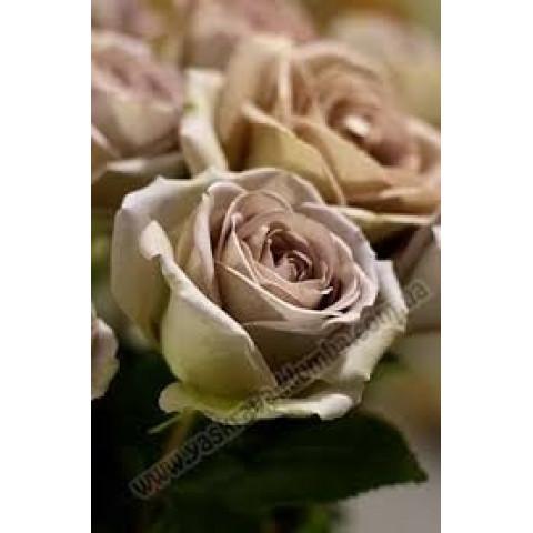 Троянда Амнезія (Amnesia)