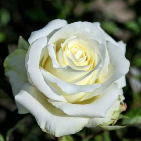 Роза Анастасия (Anastasiya)