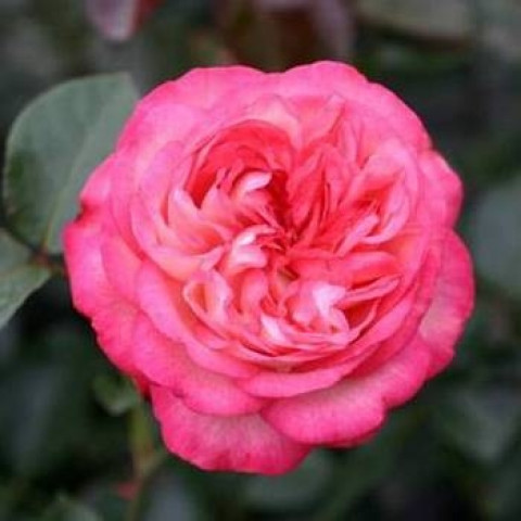 Троянда Антік (Antike)