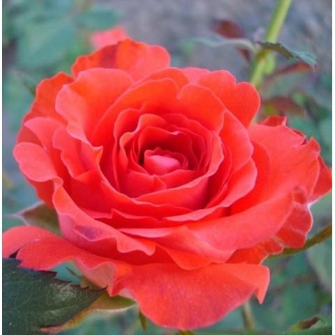 Троянда Анжеліка (Angelique)