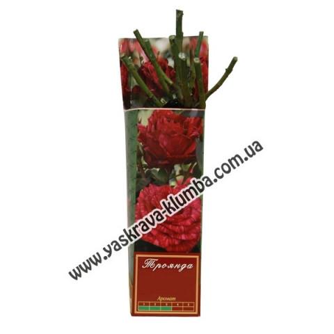Троянда Артур Белл (Arthur Bell)