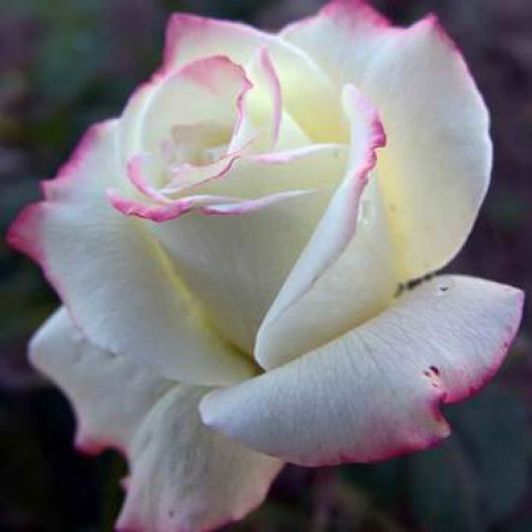 Роза Атена (Athena)