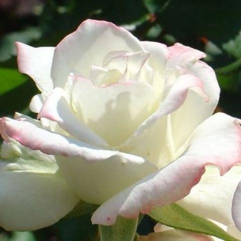 Троянда Атена (Athena)