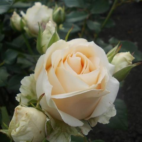 Троянда Аваланж (Avalanche) штамб
