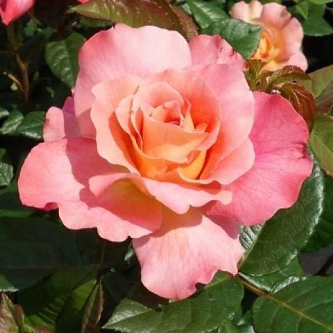 Троянда Августа Луіза (Augusta Luise) штамб Tantau