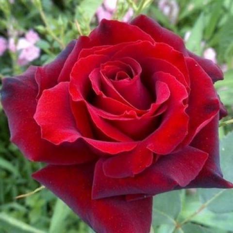 Троянда Баркароле (Barkarole) штамб Tantau