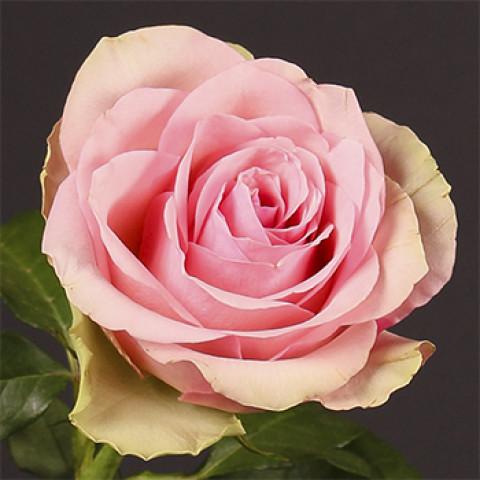 Роза Бель Роуз (Belle Rose)