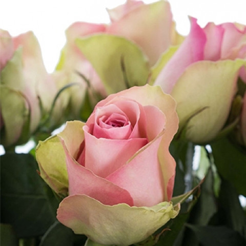 Троянда Бель Роуз (Belle Rose)