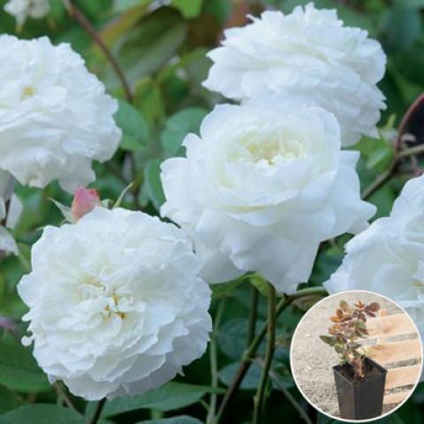 Роза Белая Сенсация (White Sensation) (контейнер 3 л)