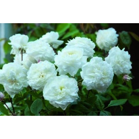 Роза Белая Сенсация (White Sensation)