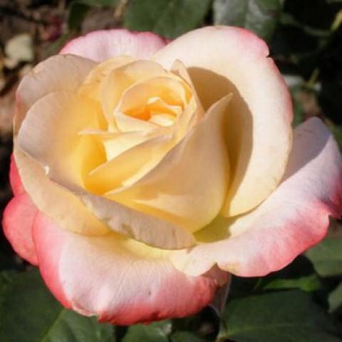 Роза Белла Перла (Belle Perle) (контейнер 3 л)