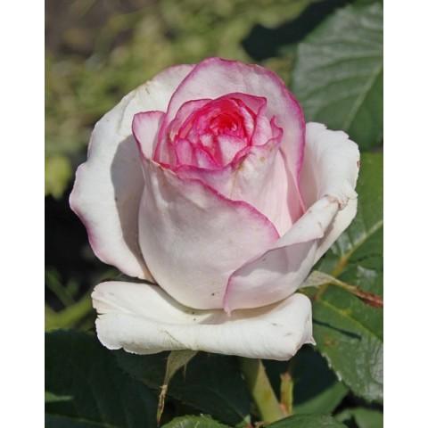 Троянда Белла Віта (Bella Vita)