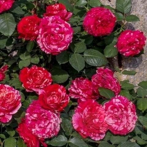 Троянда Бест Імпрешн (Best Impression)