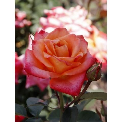 Троянда Бірді (Birdy)