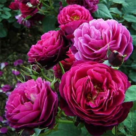 Роза Бисантенэр де Гийо (Bicentenaire de Guillot)