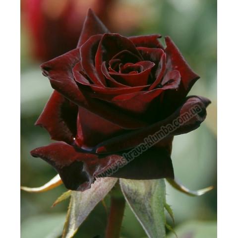 Троянда Блек Баккара (Black Baccara)
