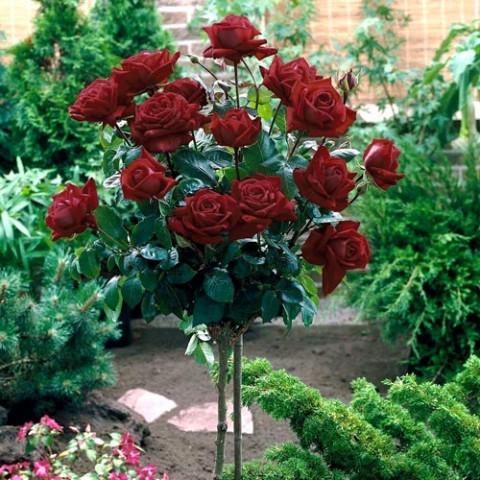 Троянда Блек Баккара (Black Baccara) штамб