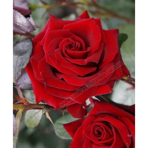 Троянда Блек Мейджик (Black Magic)
