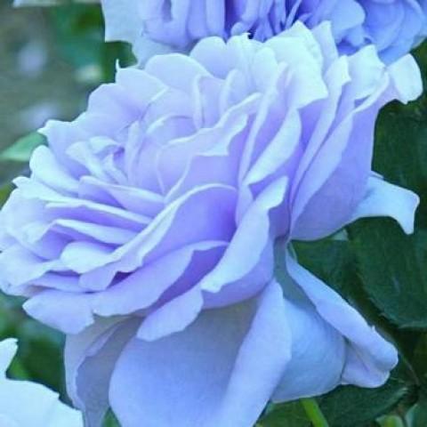 Роза Блю Мун Вьющаяся (Blue Moon) (контейнер 3 л)