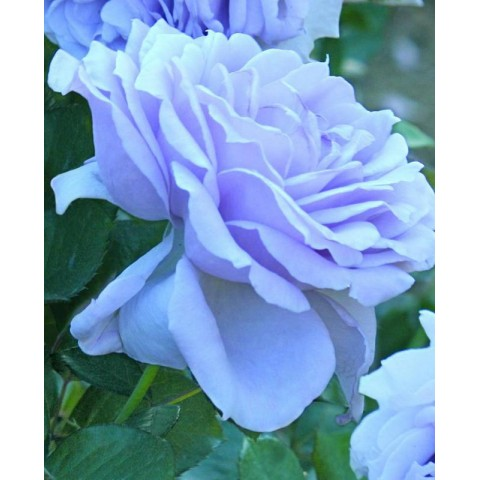 Роза Блю Мун Вьющаяся (Blue Moon)