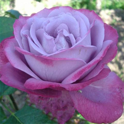 Троянда Блю Ріва (Blue River)