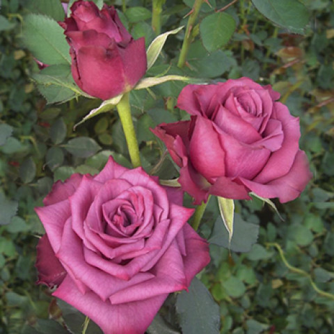 Роза Блюберри (Blueberry)