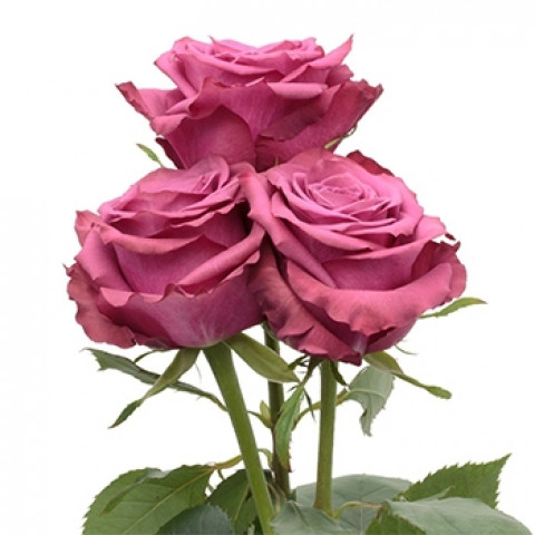 Троянда Блюберрі (Blueberry)