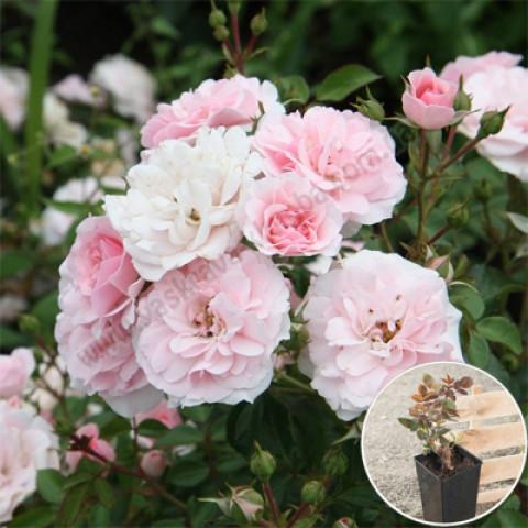 Роза Боника (Bonica) (контейнер 3 л)