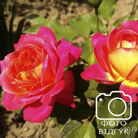 Троянда Брати Грімм (Brothers Grimm Fairy Tale)