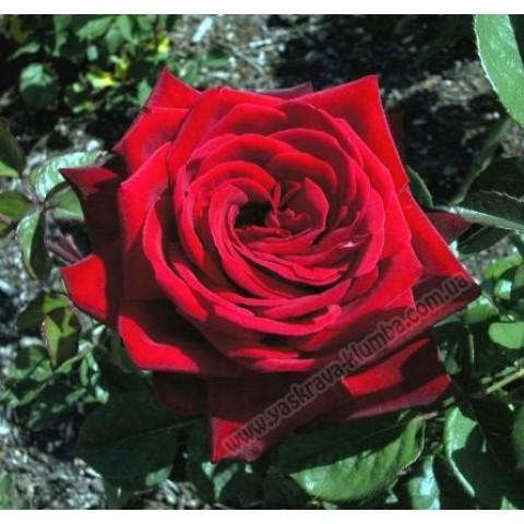 Троянда Бургунд (Burgund)