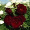 Роза Черная Королева (Black Queen)