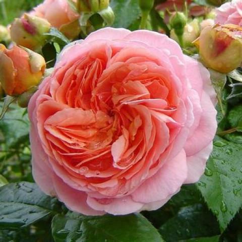 Троянда Чіппендейл (Chippendale) штамб Tantau