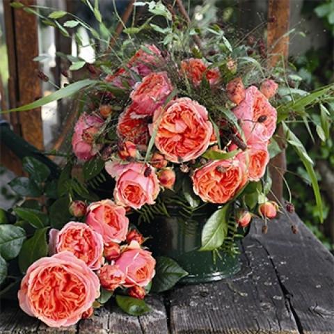 Роза Чиппендейл (Chippendale)