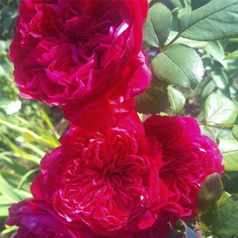 Троянда Дарсі Бассел (Darcey Bussell)