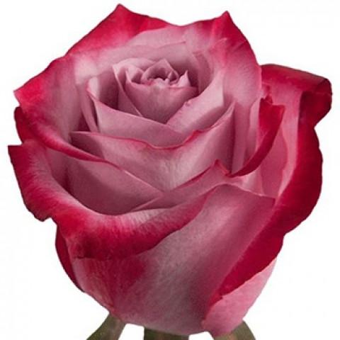 Троянда Діп Вотер (Deep Water)