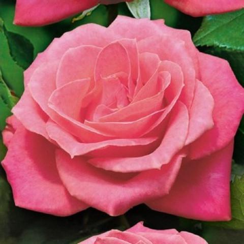 Роза Дольче Вита (Dolce Vita) (контейнер 3 л)