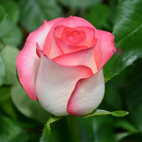 Роза Джумилия (Jumilia)