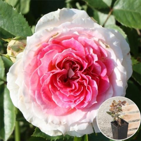 Троянда Едем (Eden) (контейнер 3 л)
