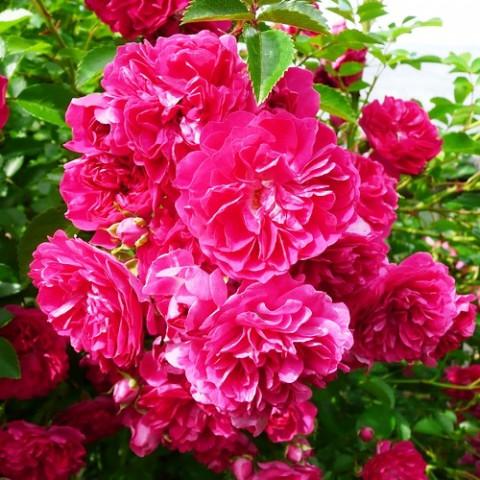 Троянда Ексельза (Excelsa) штамб