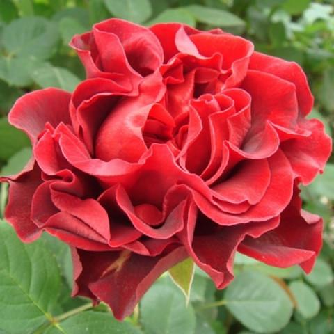 Троянда Ель Торо (El Toro)