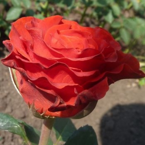 Троянда Ельторо (El Toro) (контейнер 3 л)