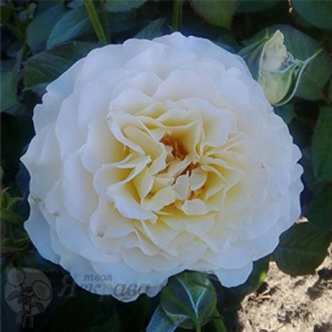 Троянда Ескалібур (Excalibur) (контейнер 3 л)