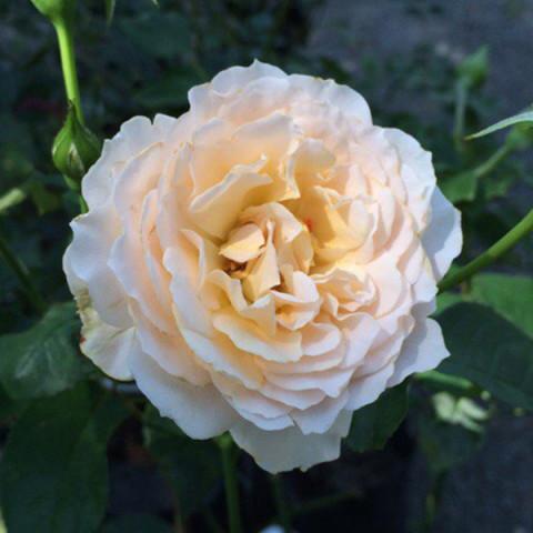 Троянда Екскалібур (Excalibur)
