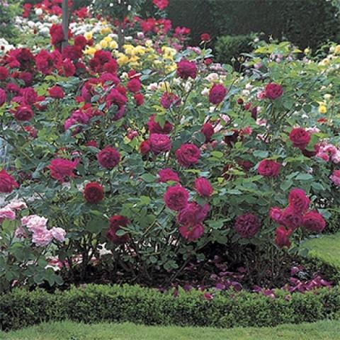 Троянда Фальстаф (Falstaff)