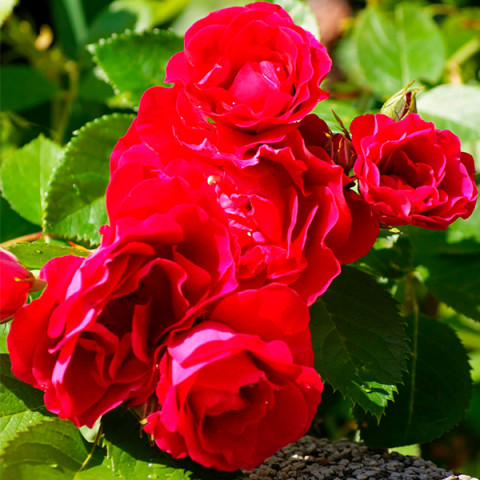 Роза Фламентанц (Flammentanz) штамб