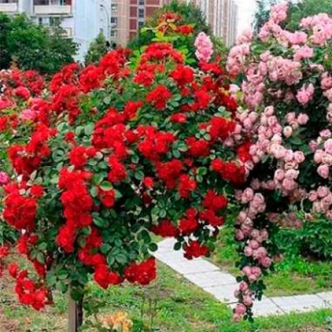 Троянда Фламентанц (Flammentanz) штамб