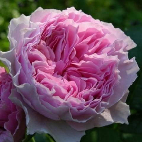 Троянда Гартентраум (Gartentraume) штамб Tantau