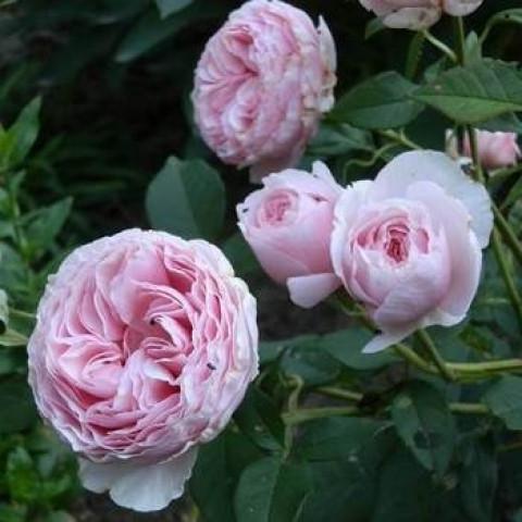 Роза Гартентраум (Gartentraume) штамб Tantau